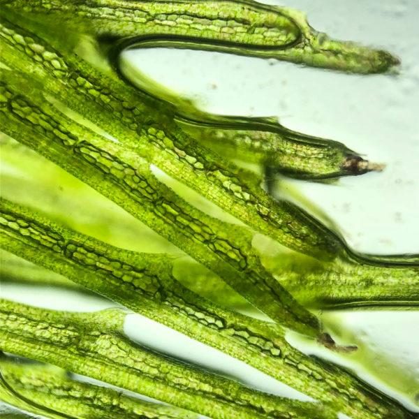 Algues matière première de qualité